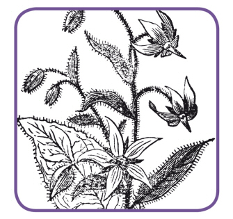 Borragine, la pianta di lana